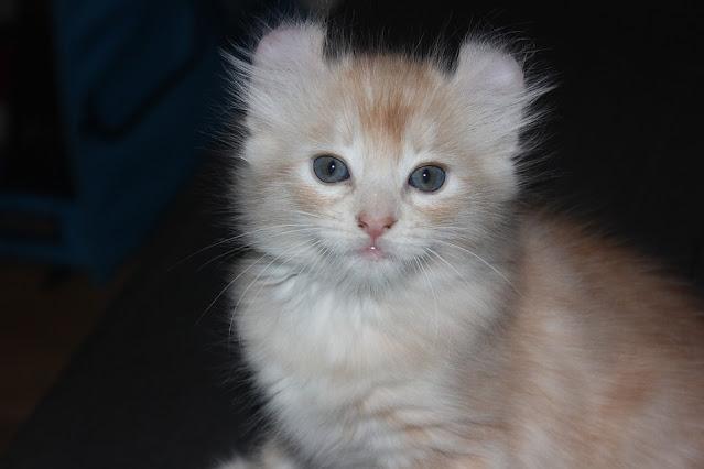 *Jungle Curl – Rare and Exotic Feline Registry 2021