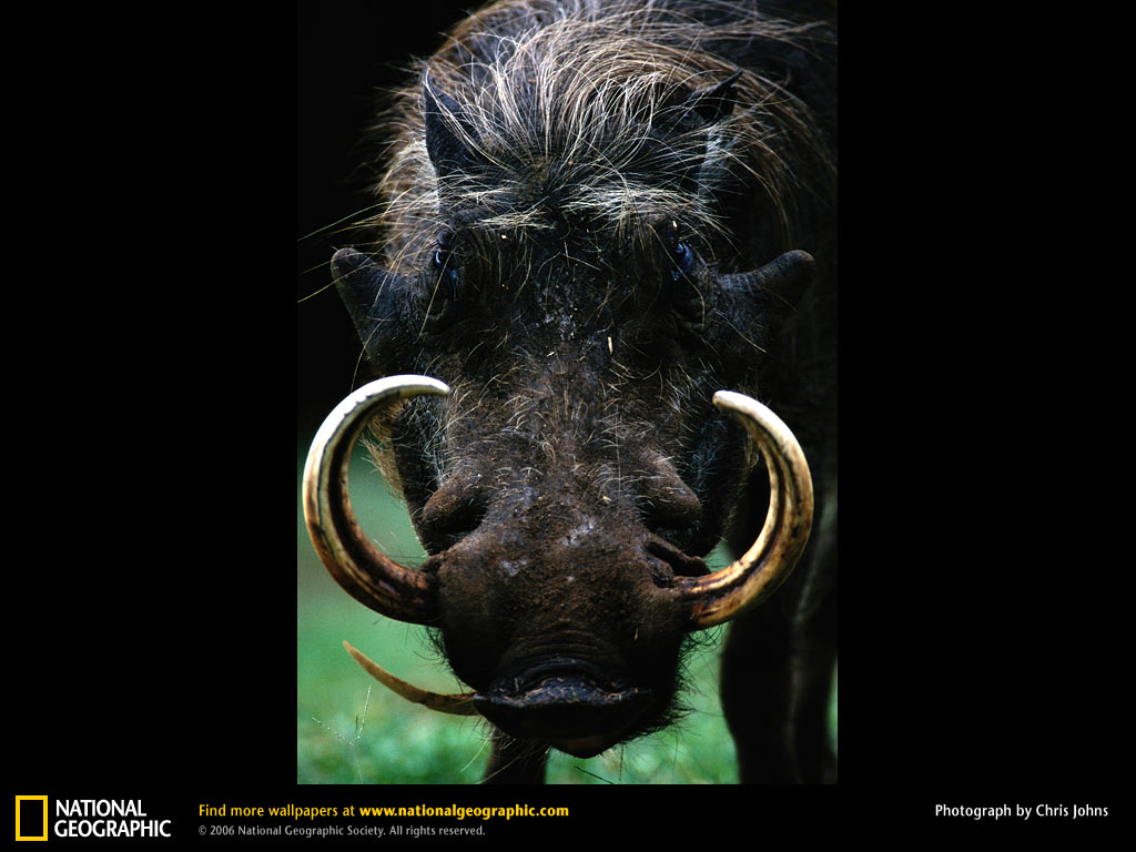 Warthog Wallpapers | Fun Animals Wiki, Videos, Pictures ...