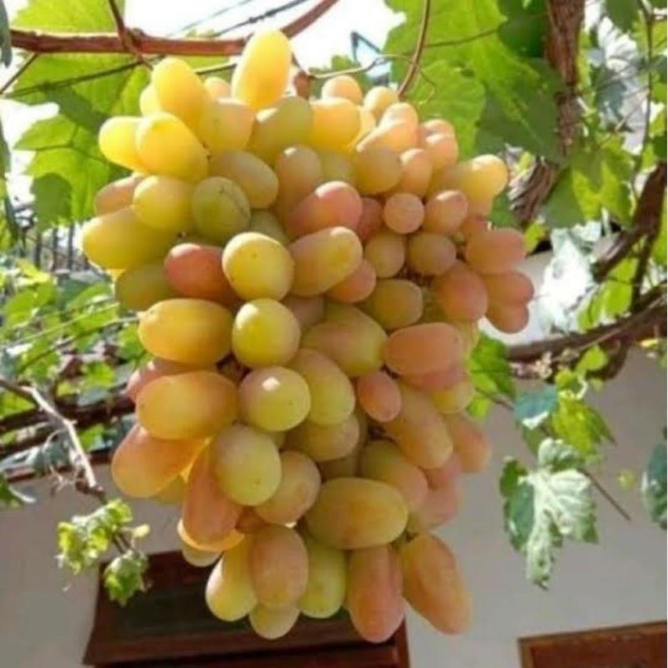 bibit buah anggur import trnsfiguration garansi valid Sumatra Barat