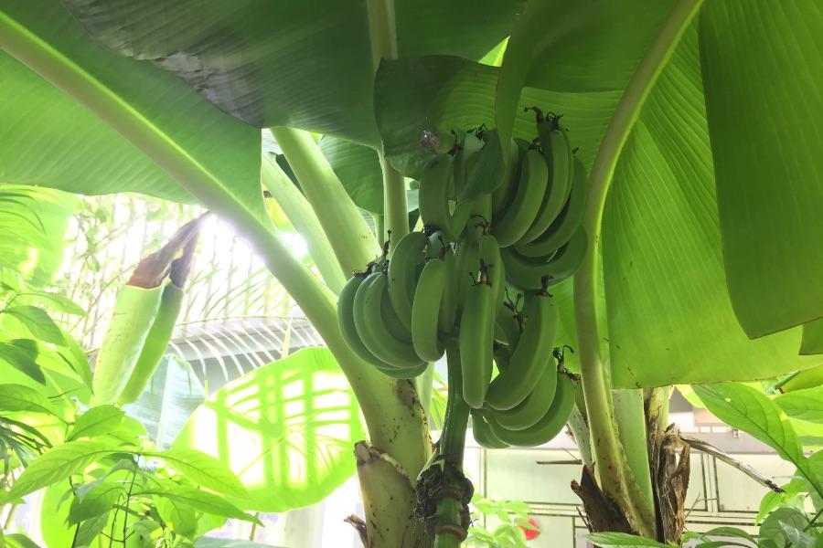バナナが成っていました