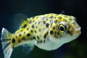 Ikan buntal/Dwarf Pufferfish