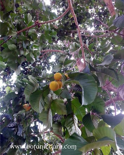 Sandoricum koetjape, Santol fruit