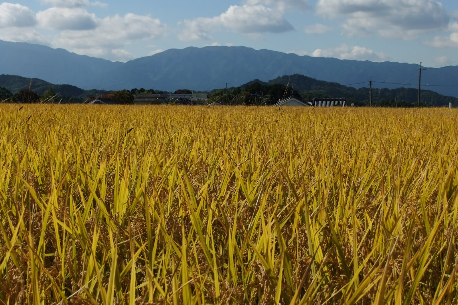 japan-nara-asukavillage-ricefield 奈良飛鳥村の稲穂
