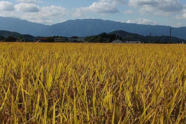 japan-nara-asukavillage-ricefield 奈良飛鳥村の稲穂