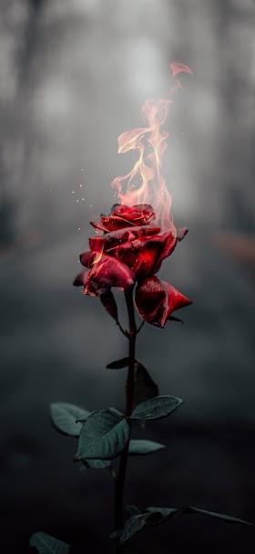 خلفية الوردة الحمراء الملتهبة في ظلام الليل الدامس