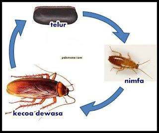 Urutan metamorfosis tidak sempurna pada kecoa