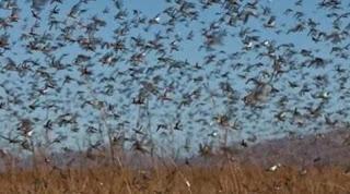 Argentina coloca fronteira gaúcha em atenção por nuvem de gafanhotos