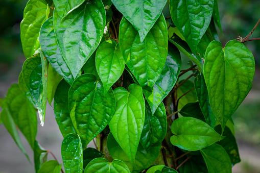 gambar daun sirih