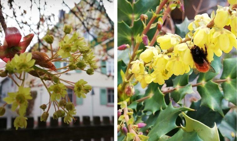 Blüten von Ahorn und Mahonie