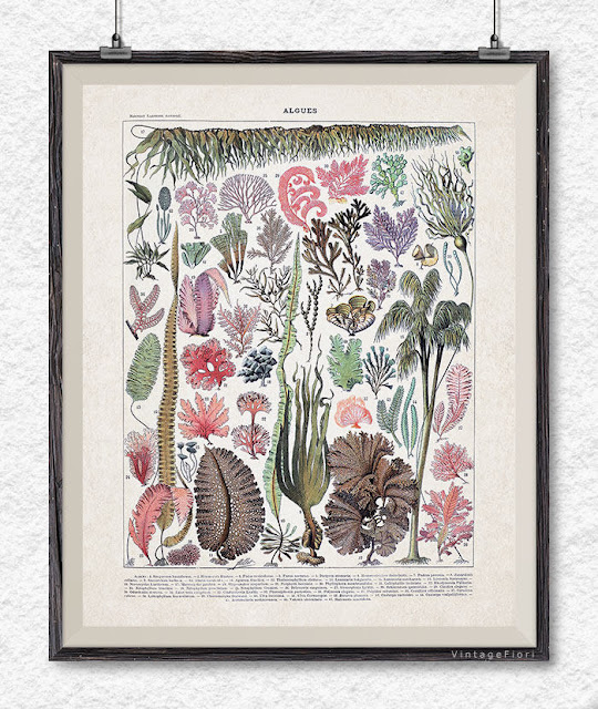 Seaweed print, botanical art, seaweed poster
