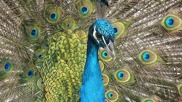 طاووس مميز والوان ممتعددة