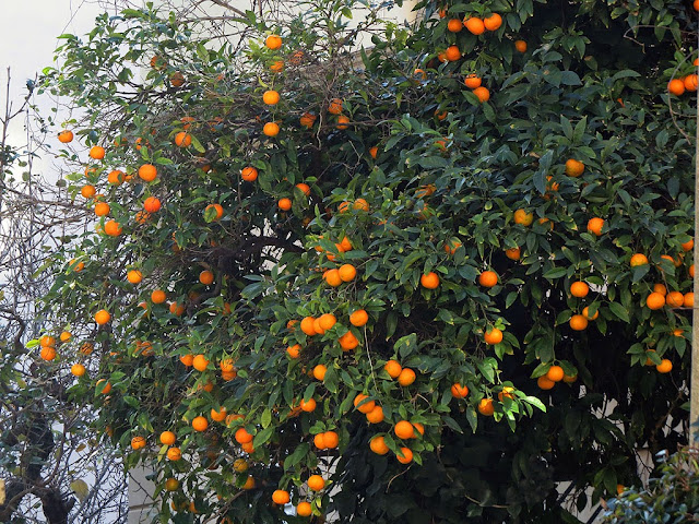 Orange tree, via Ferrigni, Livorno