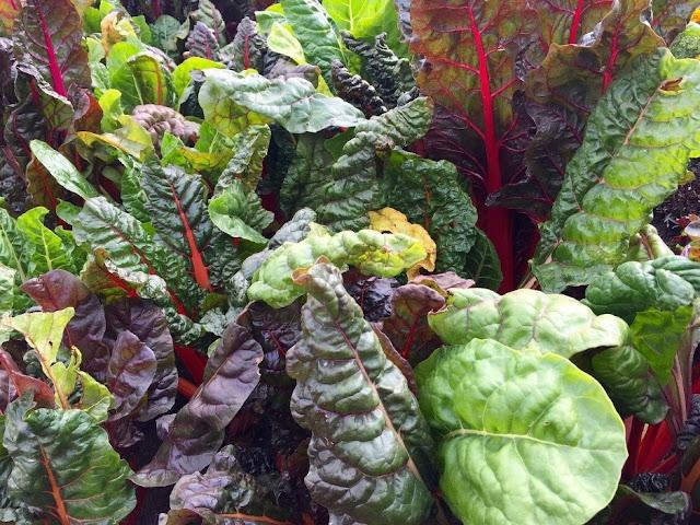 Sayuran hijau swiss chard