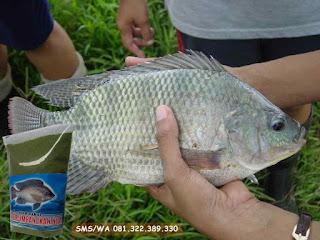 Umpan Ikan Nila Khusus Di Alam Liar