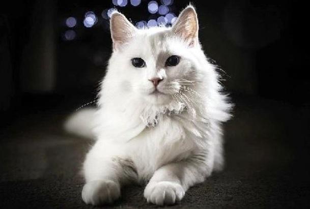 Ciri-Ciri Kucing Anggora Asli