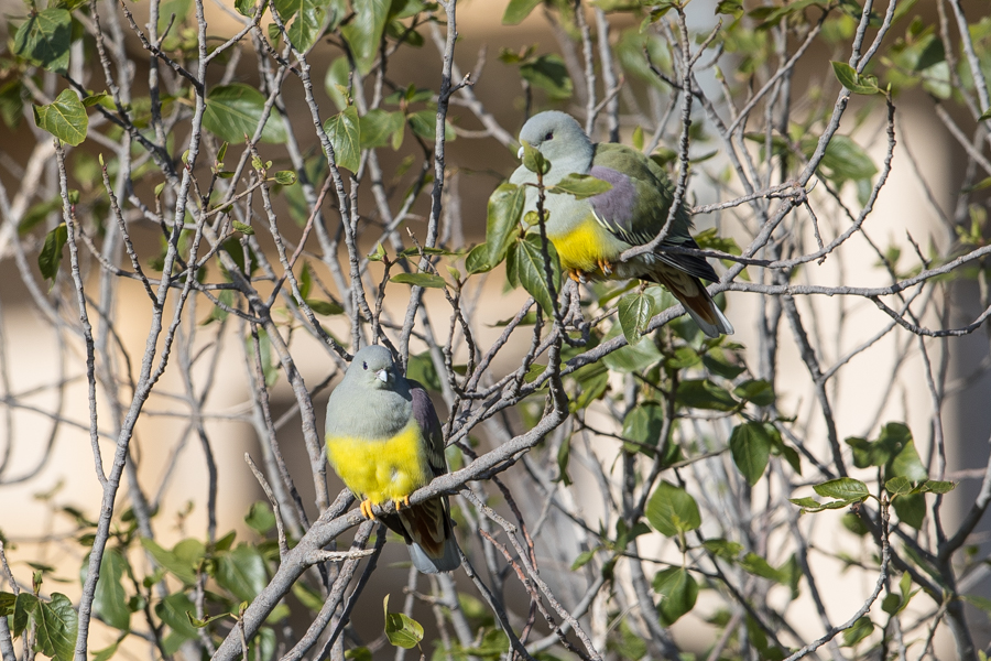 Bruce's Green Pigeon
