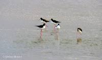 Hawaiian stilts, James Campbell National Wildlife Refuge, Oahu - © Denise Motard