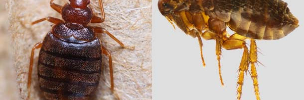 Flea Bites vs Bed Bug Bites on Humans