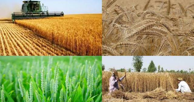 Wheat Origin History and Cultivation Method