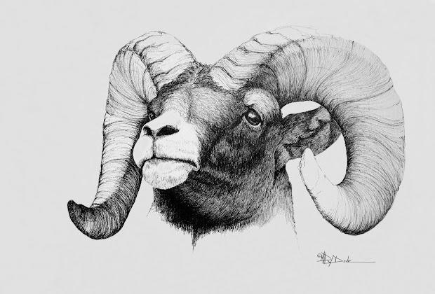 Rocky Mountain Bighorn Sheep Drawing