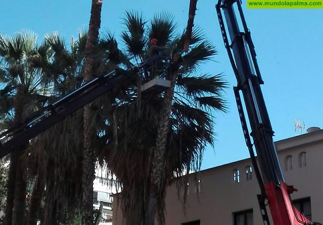 El Ayuntamiento de Santa Cruz de La Palma retira tres palmeras dañadas de la Avenida de El Puente