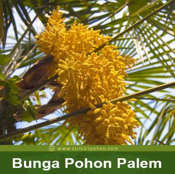 ciri ciri pohon bunga palem