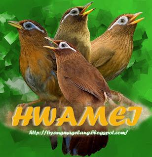 Hwamei,si burung fighter bersuara dahsyat