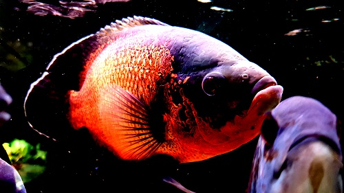 Oscar Fish Aquarium Setup