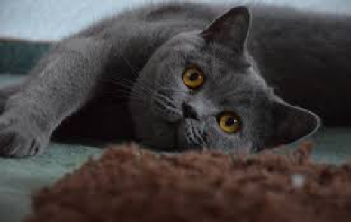 British Short Hair - Most Beautiful Cats