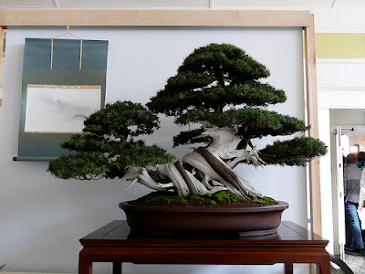 Bonsai - Here another perfect example of deadwood combined with the tree itself.