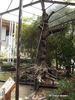 Precious old cherry tree - Kyoto Botanical Gardens, Japan