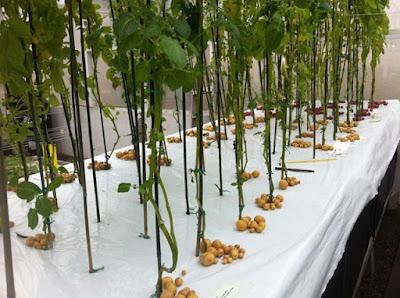 Um jeito diferente de plantar batatas: Aeroponia