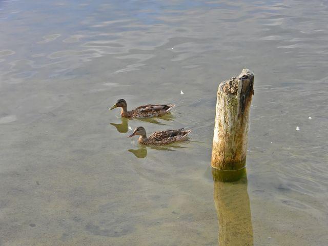 jezioro, woda, kaczki, krzyżówki, Niesulice