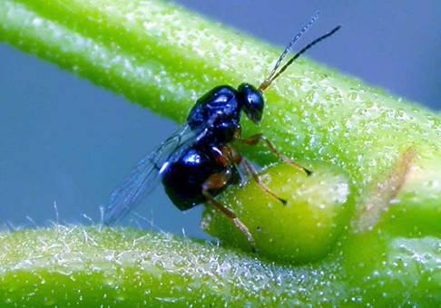 Βιολογικά αντιμετωπίζουν τη Σφήκα της καστανιάς στη Φρουσιούνα Αργολίδας