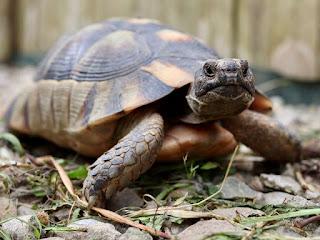 kotoran-kura-kura-putih.jpg