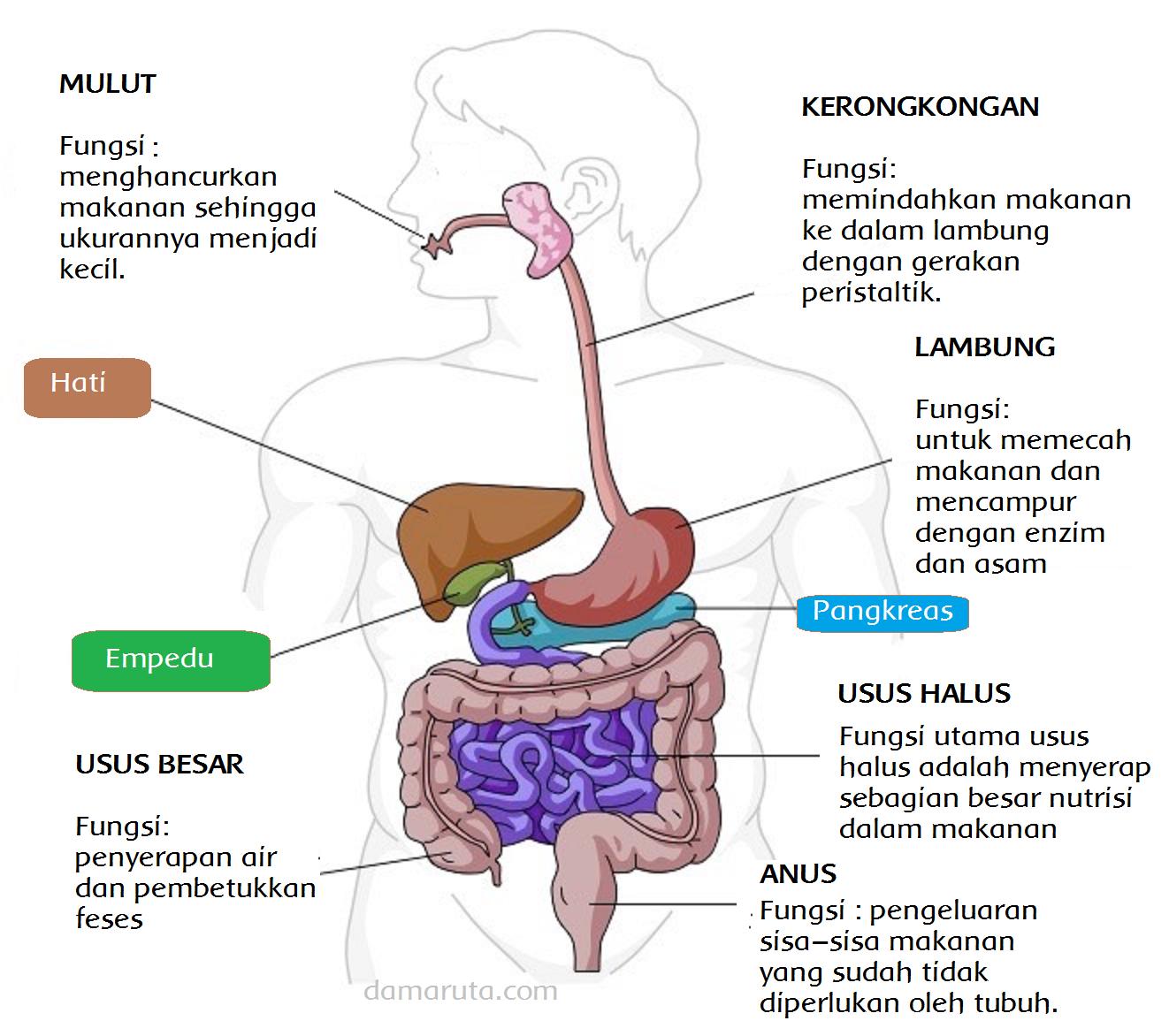 Organ Organ Pencernaan Pada Manusia Halaman 87 Belajar Kurikulum 2013