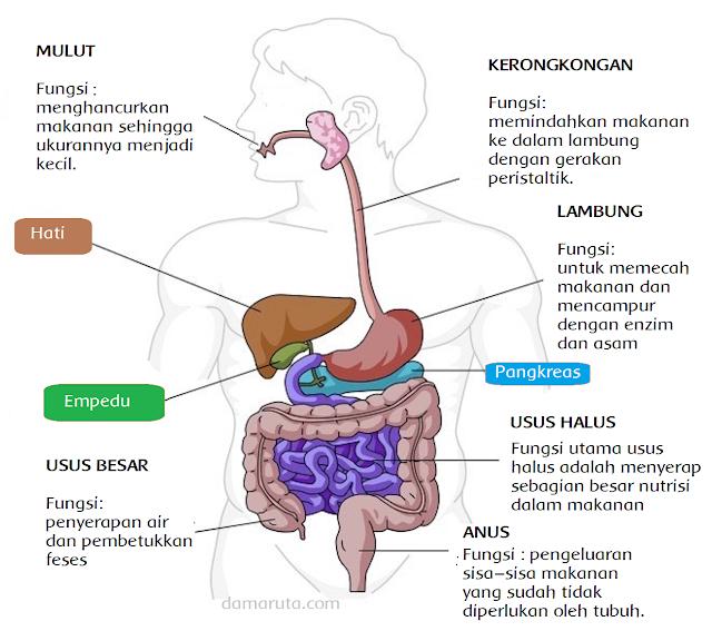 Berikut ini organ pencernaan pada insan dan fungsinya Materi Sekolah |  Organ-organ Pencernaan Pada Manusia (Halaman 87)