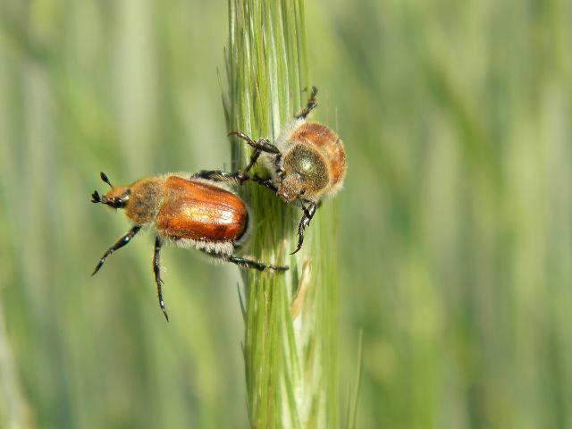 owady, chrząszcze, fauna, pola, uprawy