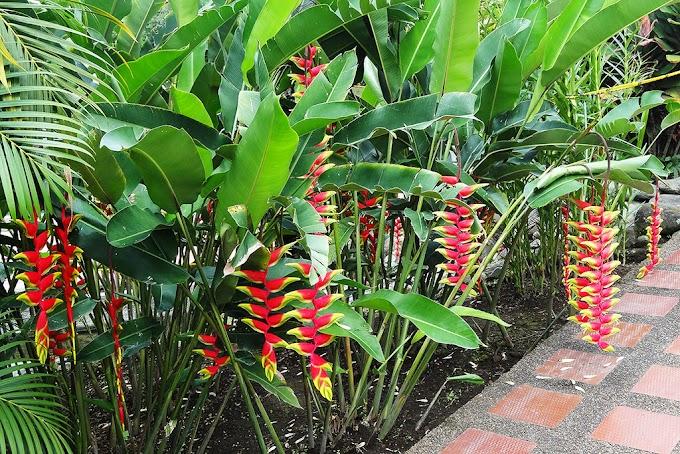 Cultivo de las Heliconias - Jardinería