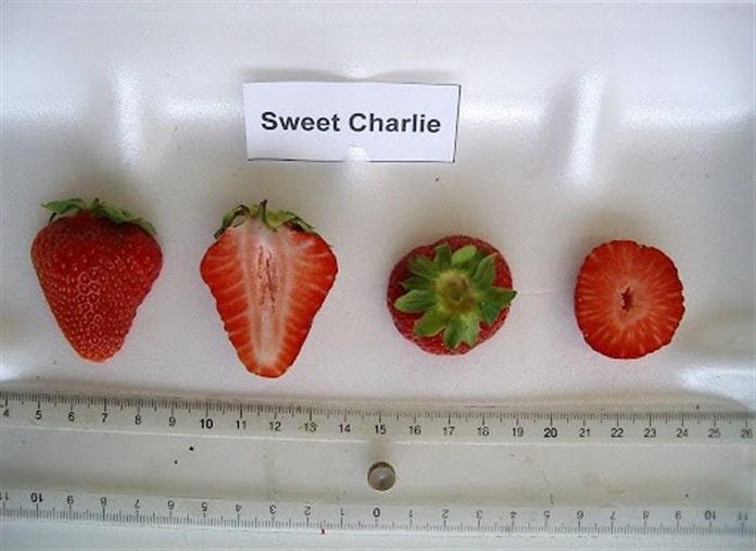 Sweet Charlie çilek türü isimleri ve özellikleri