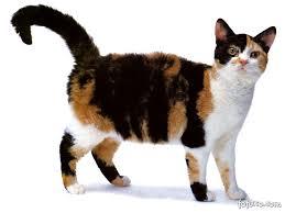 Kucing American Wirehair dan Karakteristiknya