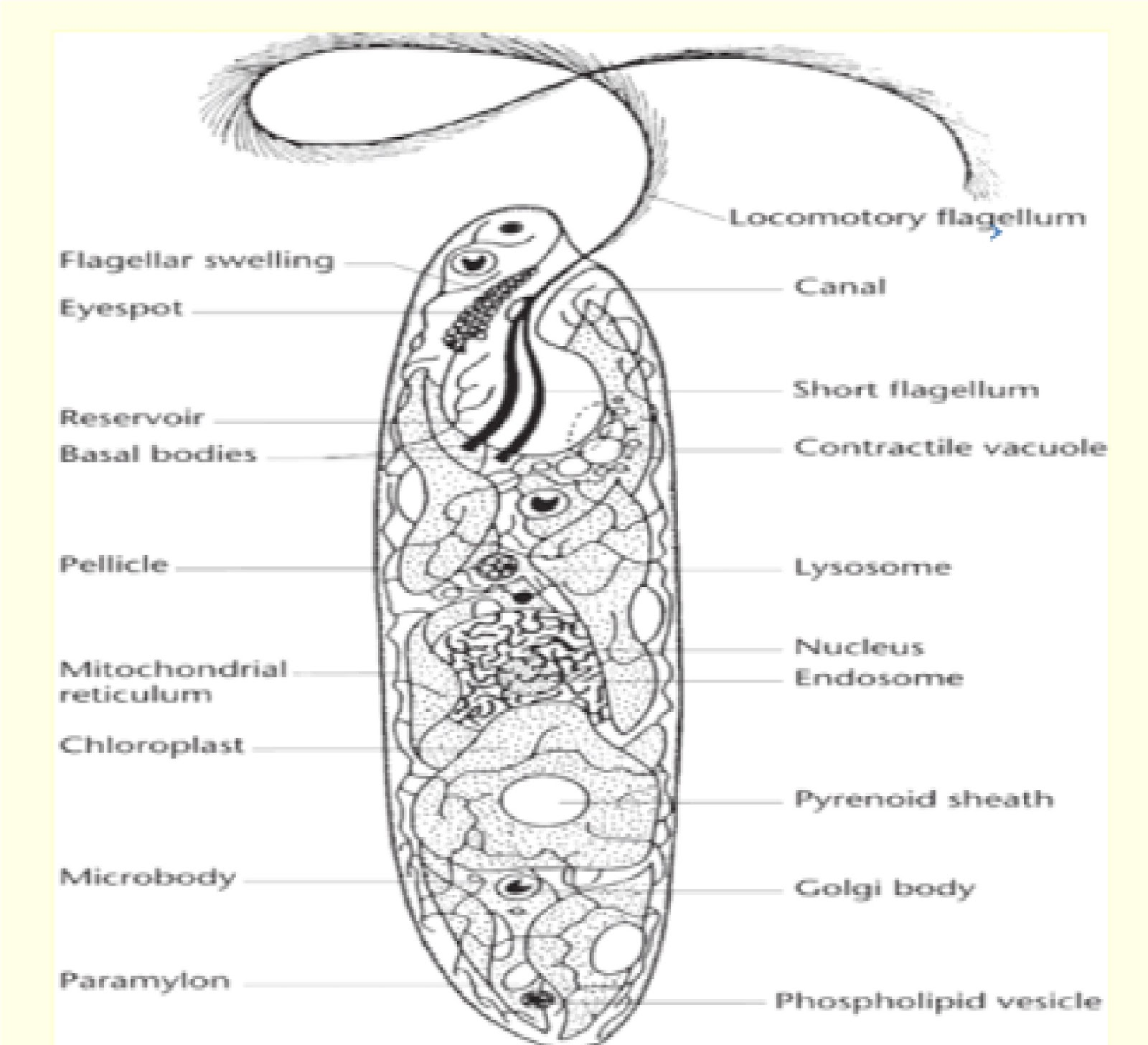 euglena cell diagram with labels 1978 dodge truck ignition wiring biopedia practicals