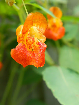 Jewelweed Impatiens capensis Toronto ecological gardening by garden muses-not another Toronto gardening blog
