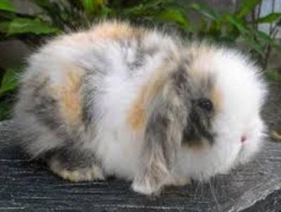 Tips Membeli Kelinci Fuzzy Lop