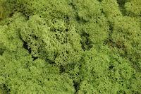https://www.foamiran.pl/pl/p/chrobotek-reniferowaty-50-gram-_-wiecznie-zielony-mech-/2260