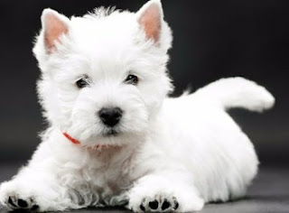 Everything about your West Highland White Terrier