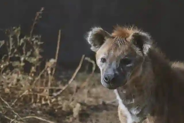 60 Shocking Facts About Hyena You Didn't know