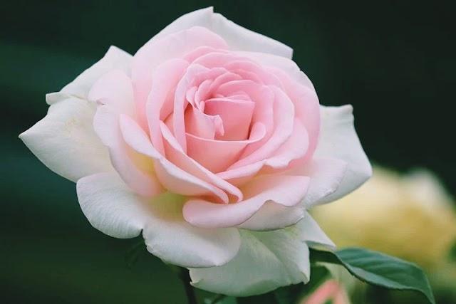 Face of white rose