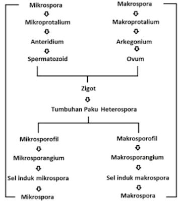 Metagenesis Tumbuhan Paku Beserta Skema Metagenesis Paku Metagenesis Tumbuhan Paku Beserta Skema Metagenesis Paku