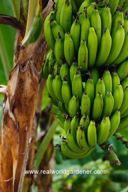 growing-bananas.jpg